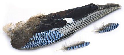 Veniard European Jay Wings