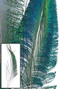 Veniard Peacock Swords