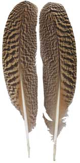 Peacock Speckled Wing Quills