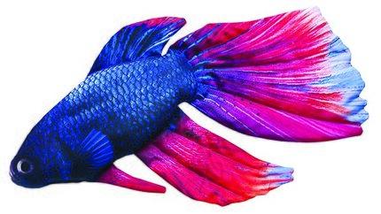 Gaby Siamese Fighting Fish Pillow 53cm