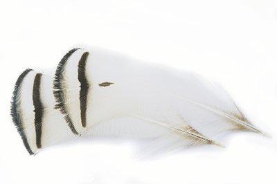 Veniard Amherst Pheasant Tippet Feathers