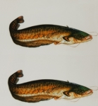 Just Fish Sticker Catfish 3cm