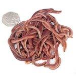 Livebaits Medium Dendrobaenas Worms