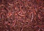 Livebaits 250g Dendrobaena Worms