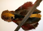 Veniard Golden Pheasant Complete Skin